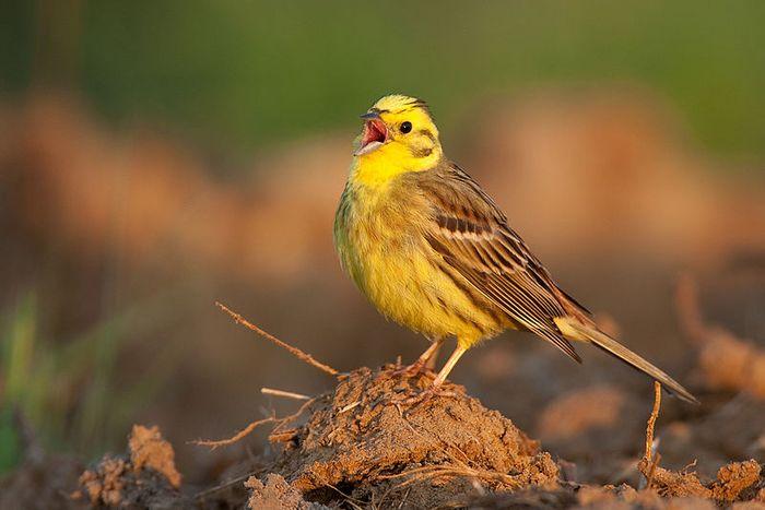 Goldammer, singendes Männchen
