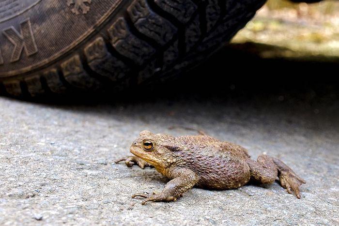 Erdkröte auf einer Straße