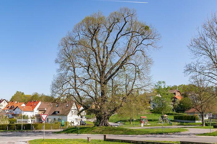 Naturdenkmal Teichlinde in Beverungen-Herstelle