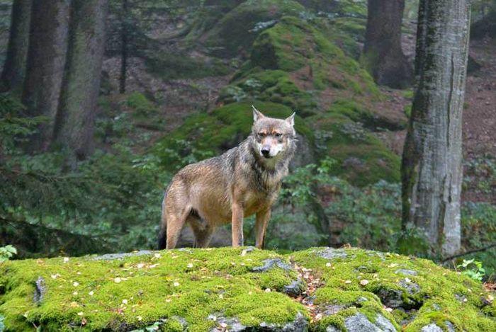 Wolf im Nationalpark Bayrischer Wald