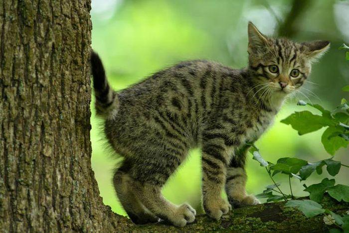 Junge Wildkatze