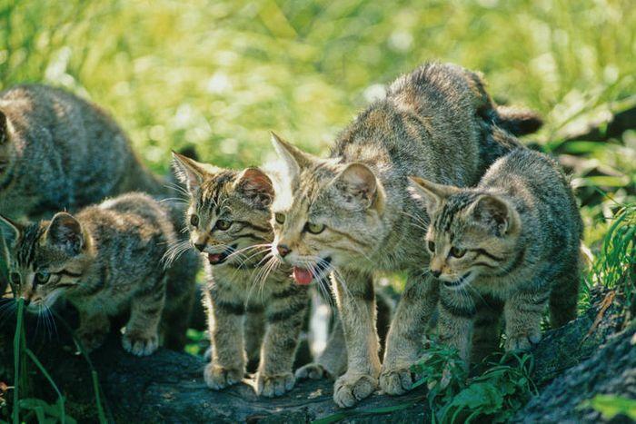 Europäische Wildkatzen