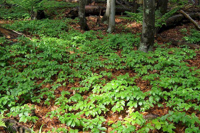 Buchen-Naturverjüngung im Bayrischen Wald